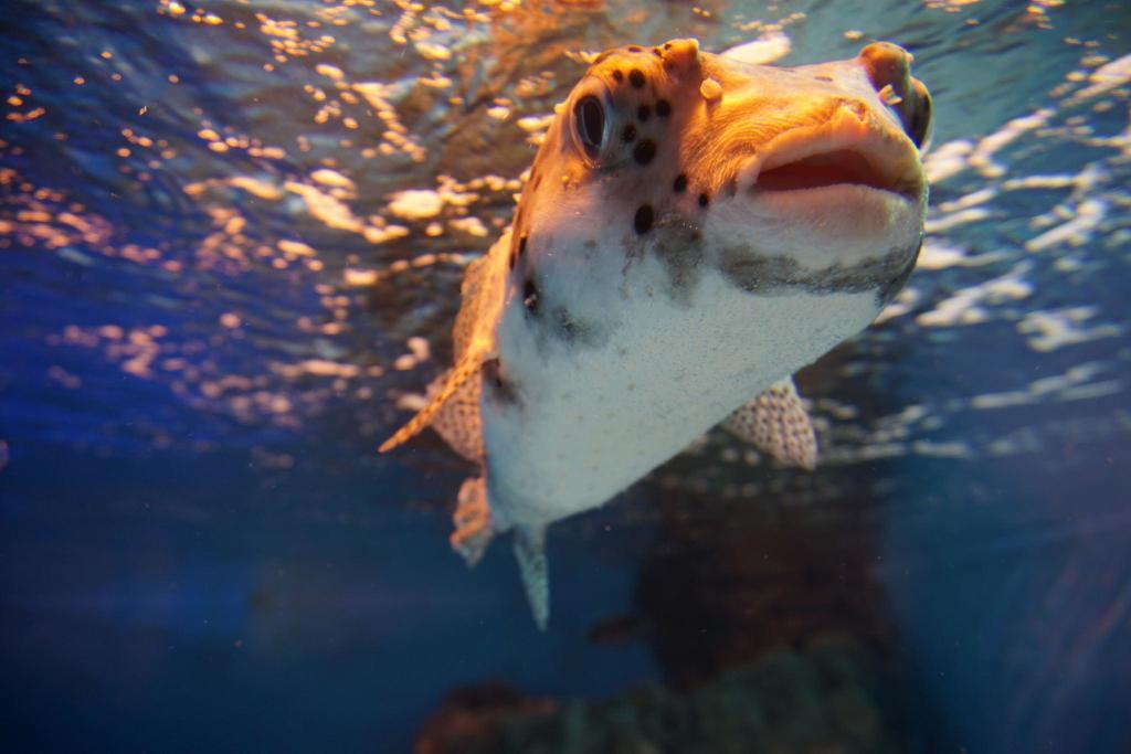 En blåsfisk på Sunshine akvarium Ikebukuro